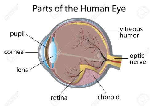 small resolution of of parts of the human eye real human eye parts