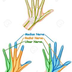 Hand Nerves Diagram 2 Way Switch Light Wiring Color Showing Nerve Illustration Royalty Free Cliparts Stock Vector 59310110