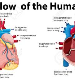 blood flow of the human heart illustration stock vector 59310109 [ 1300 x 655 Pixel ]