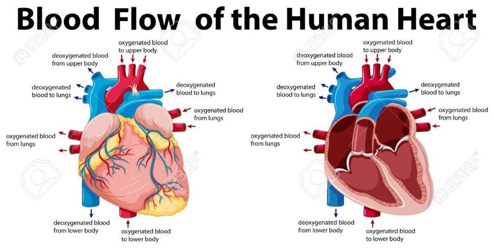 medium resolution of blood flow of the human heart illustration stock vector 59310109