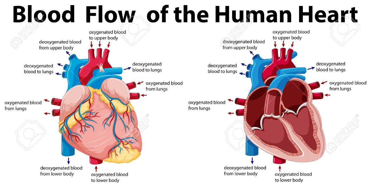 hight resolution of blood flow of the human heart illustration stock vector 59310109