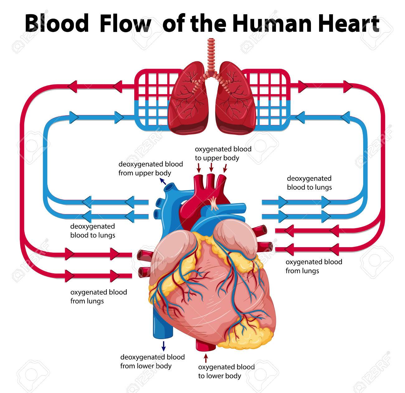 realistic heart diagram double pole throw switch wiring of blood flow data schema showing human illustration royalty free azygos