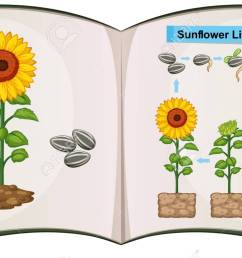 book showing diagram of sunflower life cycle illustration stock vector 85245633 [ 1300 x 791 Pixel ]