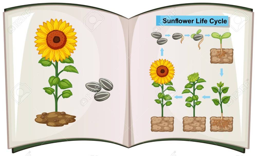 medium resolution of book showing diagram of sunflower life cycle illustration stock vector 85245633