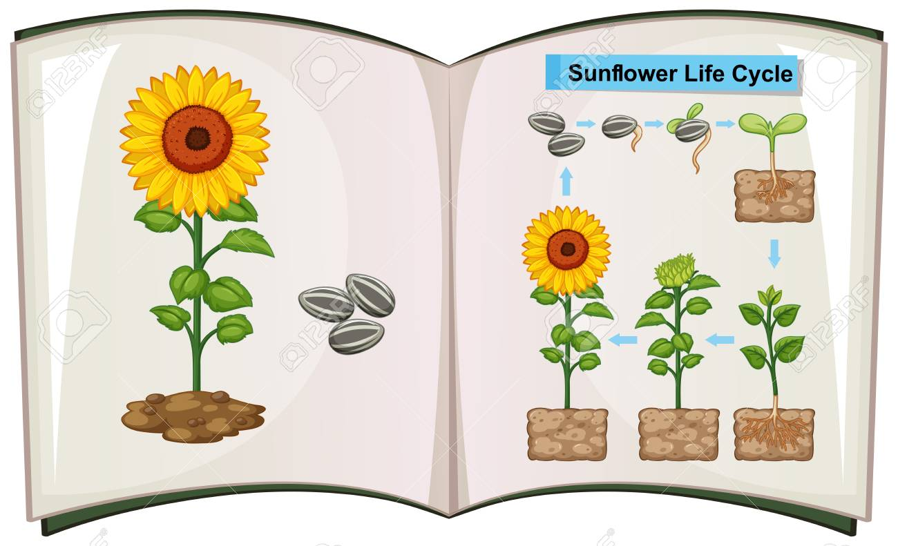 hight resolution of book showing diagram of sunflower life cycle illustration stock vector 85245633