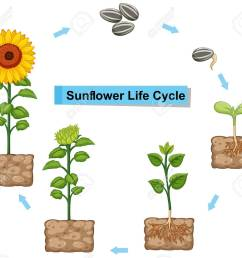 diagram showing life cycle of sunflower illustration stock vector 85245663 [ 1300 x 1171 Pixel ]