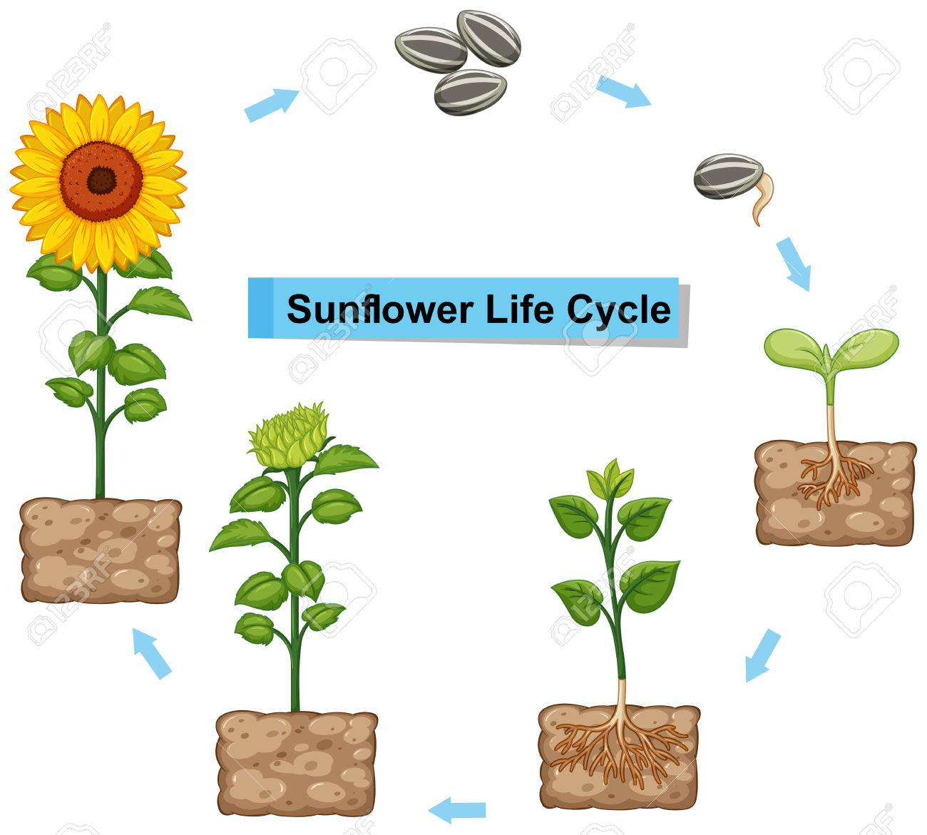 hight resolution of diagram showing life cycle of sunflower illustration stock vector 85245663
