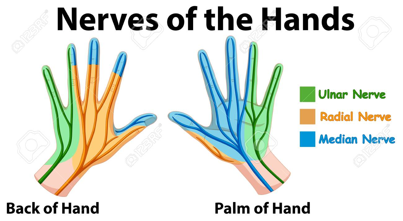 hand nerves diagram 1999 ford f150 alternator wiring showing of hands vector illustration royalty free stock 98996852