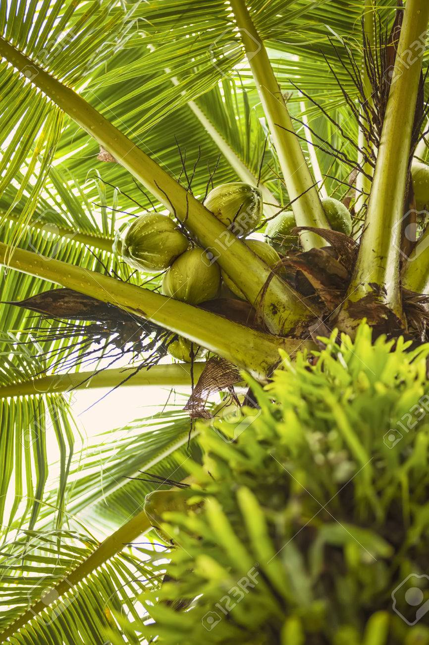 sweet cocounut tree trunk