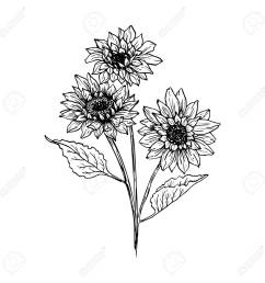 foto de archivo sunflower hand drawn vector illustration floral ink pen sketch black and white clipart realistic wildflower freehand drawing  [ 1300 x 1300 Pixel ]