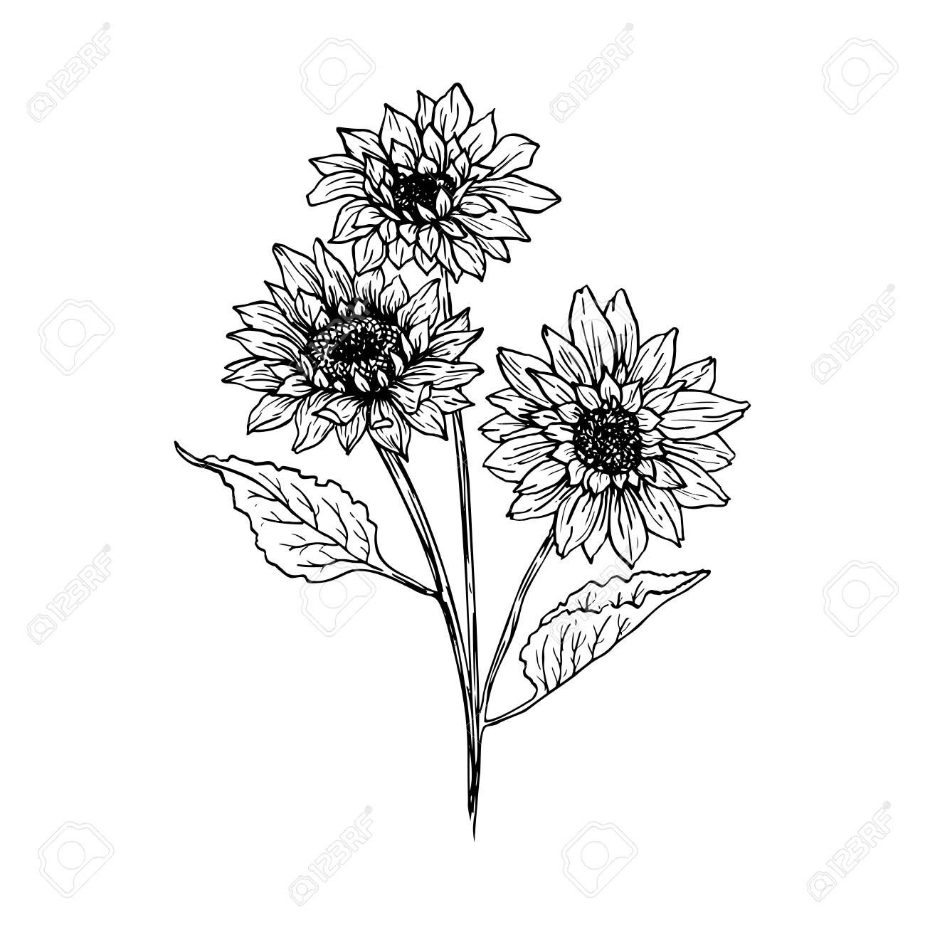hight resolution of foto de archivo sunflower hand drawn vector illustration floral ink pen sketch black and white clipart realistic wildflower freehand drawing