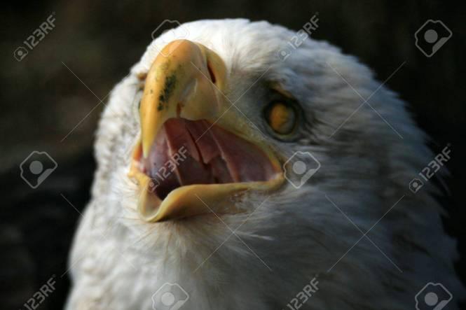 Bald Eagle National Symbol The Best Eagle 2018