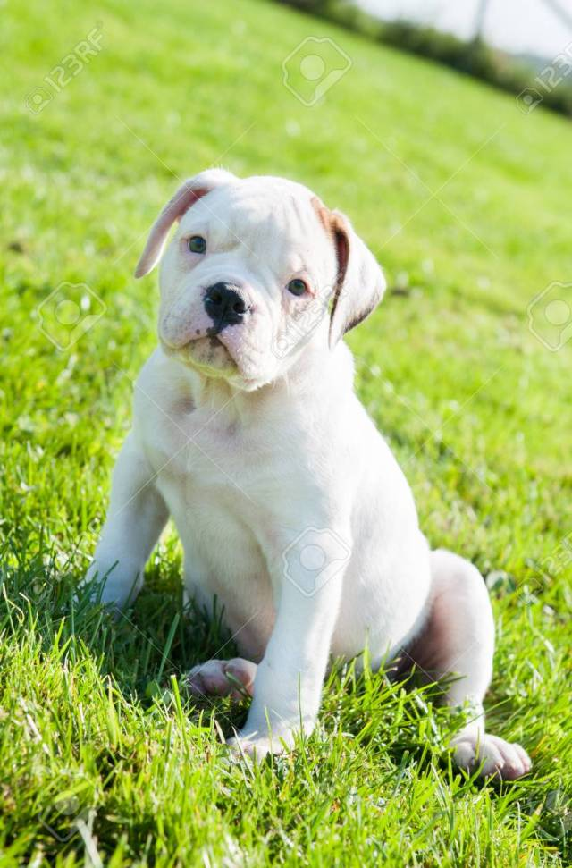 funny nice white american bulldog puppy on nature