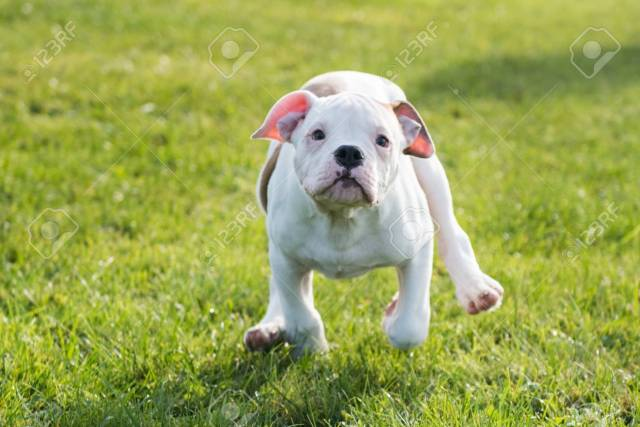 funny nice white american bulldog puppy is running on nature