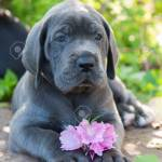 Beautiful Gray Great Dane Dog Puppy Sniffs A Flower Outside On Stock Photo Picture And Royalty Free Image Image 92189732