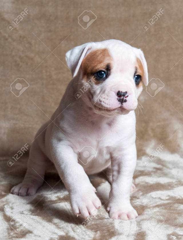 funny small red white color american bulldog puppy on light background