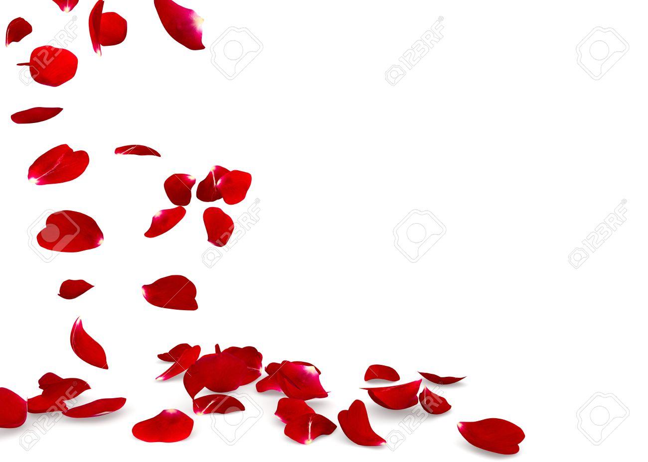 rose petals fall to