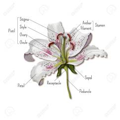 Parts Of A Flowering Plant Diagram 4 Wire To 5 Trailer Wiring Lily Flower Online The Infographics Anatomy Science View