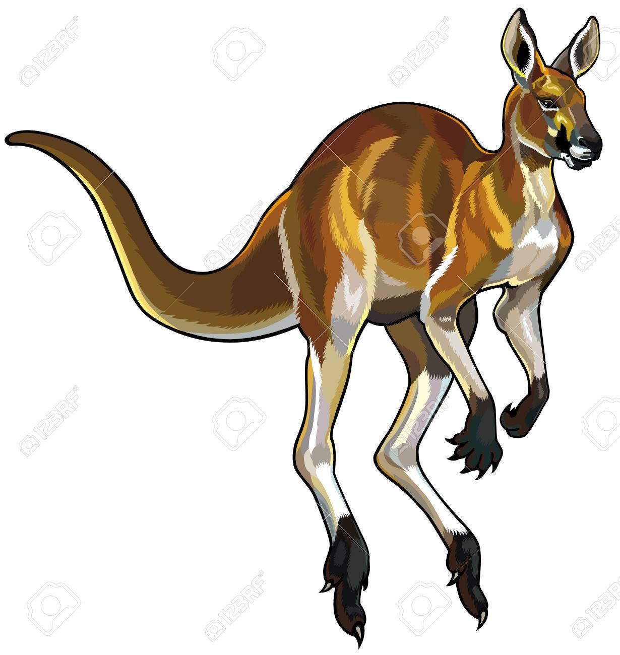 hight resolution of red kangaroo i motion isolated on white background stock vector 23013589
