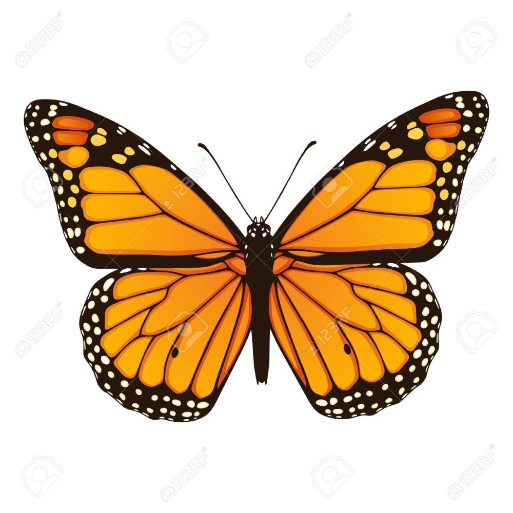 medium resolution of vector illustration of hand drawn monarch butterfly isolated on white background