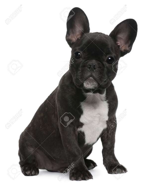 french bulldog puppy, 4 months old, sitting in front of white..