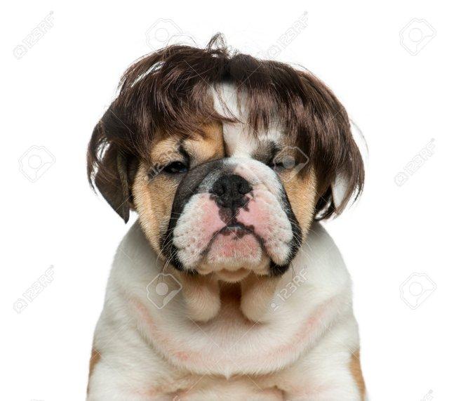 cachorro bulldog inglés con una peluca delante de fondo blanco fotos