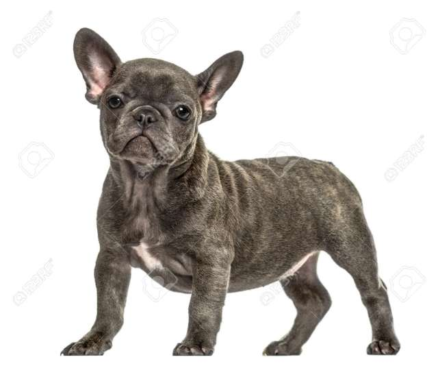 grey french bulldog puppy standing, isolated on white