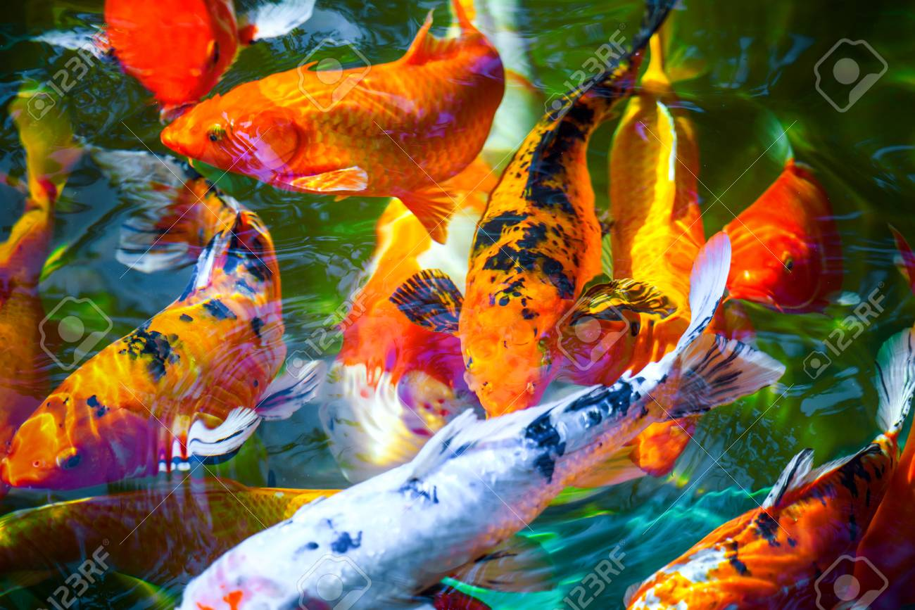 colorful koi fish with