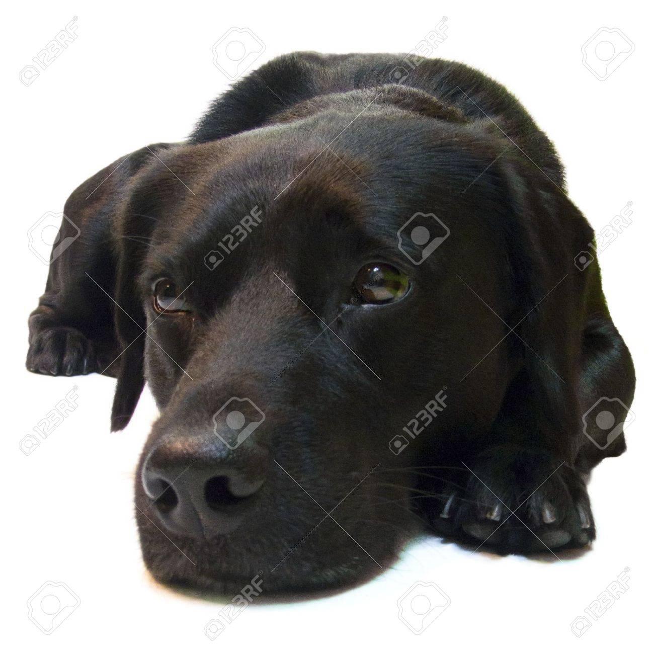 sad black dog labrador retriever on white background stock photo