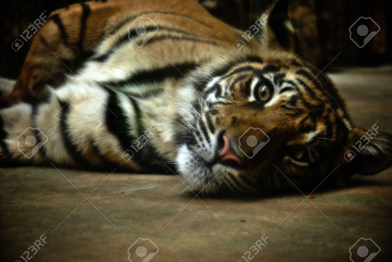 relax tiger image | free download gamefree download game