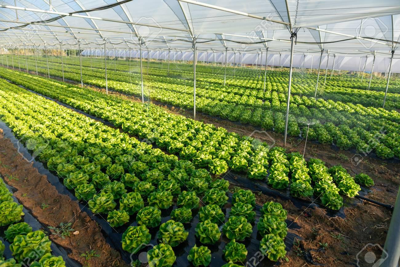fresh organic lettuce seedlings