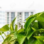Little Angel Hiding Among Green Pothos Money Plant Leaves Stock Photo Picture And Royalty Free Image Image 133628929