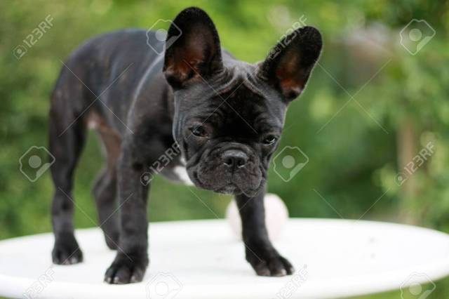 12 weeks old french bulldog puppy standing on a table