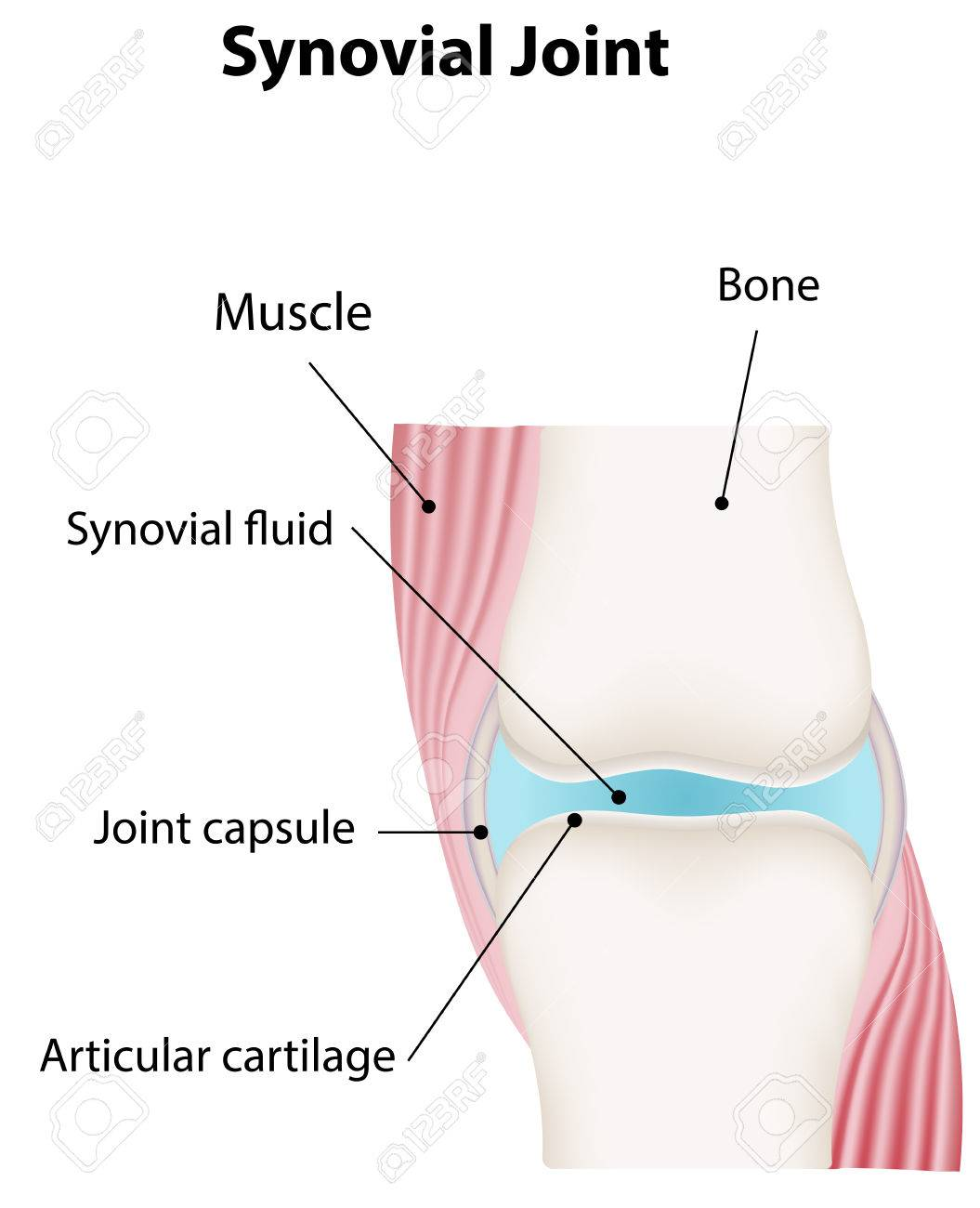 hight resolution of synovial joint labeled diagram stock vector 31325763