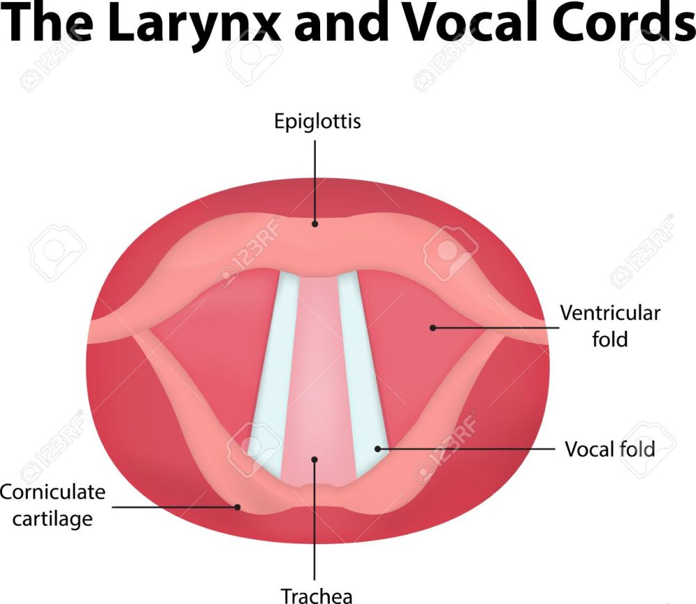 medium resolution of larynx and vocal cords labeled diagram stock photo picture and vocal cord vibration vocal folds diagram