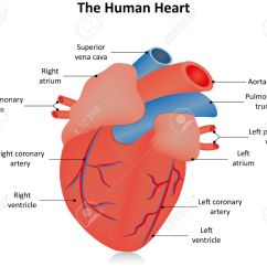 Anatomical Heart Diagram Catv System Labeled Royalty Free Cliparts Vectors And Stock