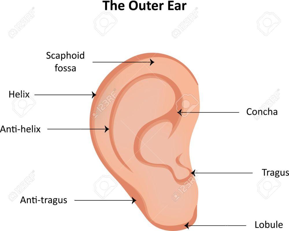 medium resolution of ear anatomy labeled diagram stock photo 42212391