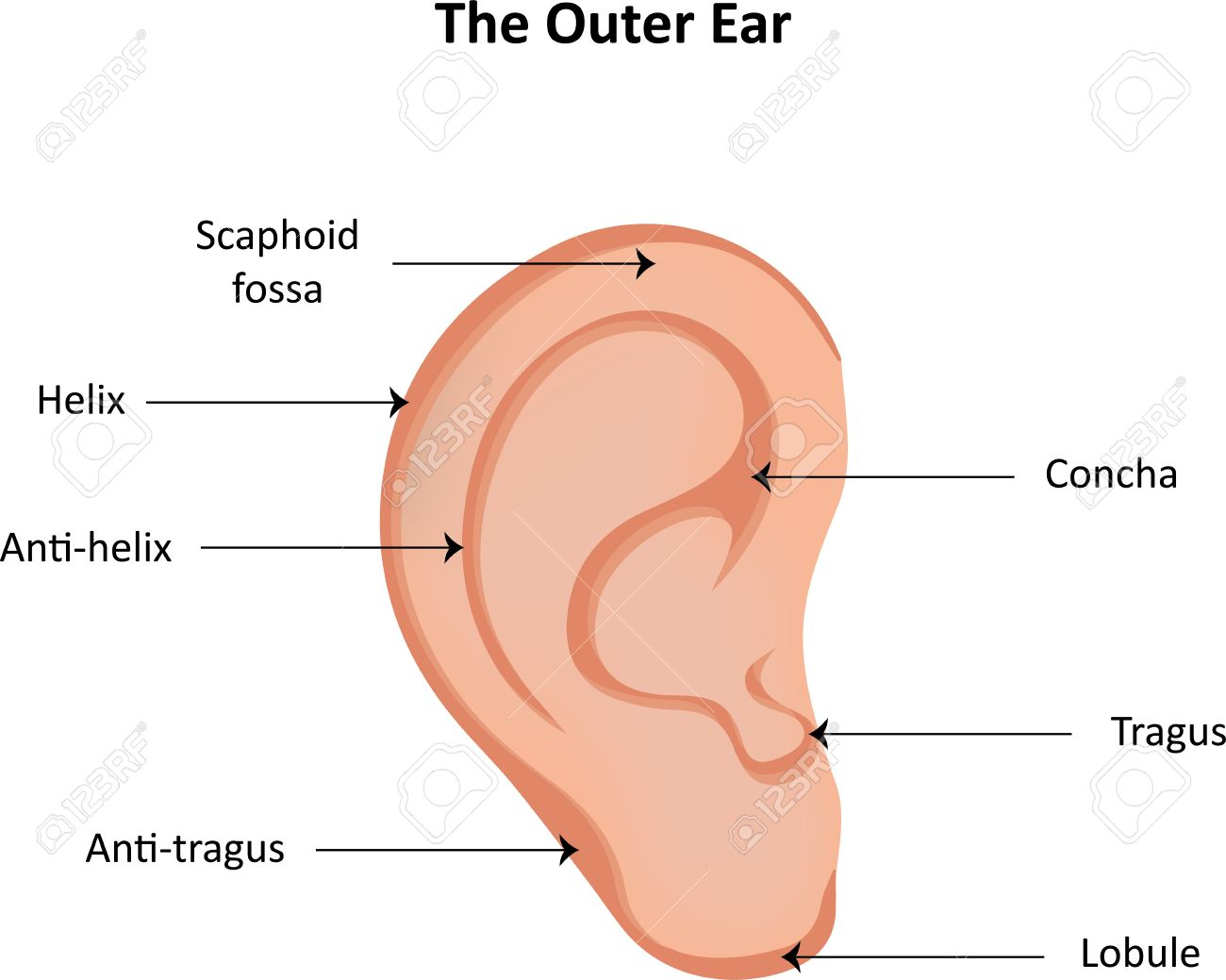 hight resolution of ear anatomy labeled diagram stock photo 42212391