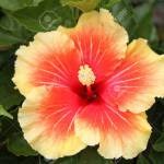 Yellow Red Hibiscus Flower Stock Photo Picture And Royalty Free Image Image 55537350