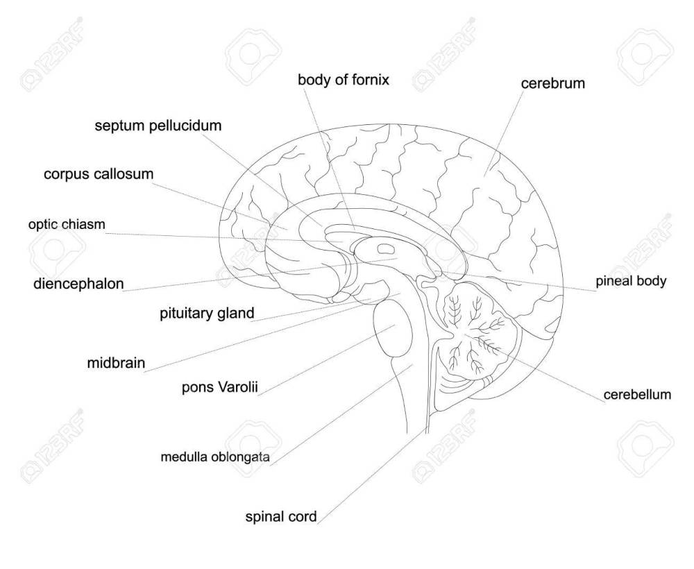 medium resolution of outline human brain anatomy central nervous system line diagram stock vector 74006264