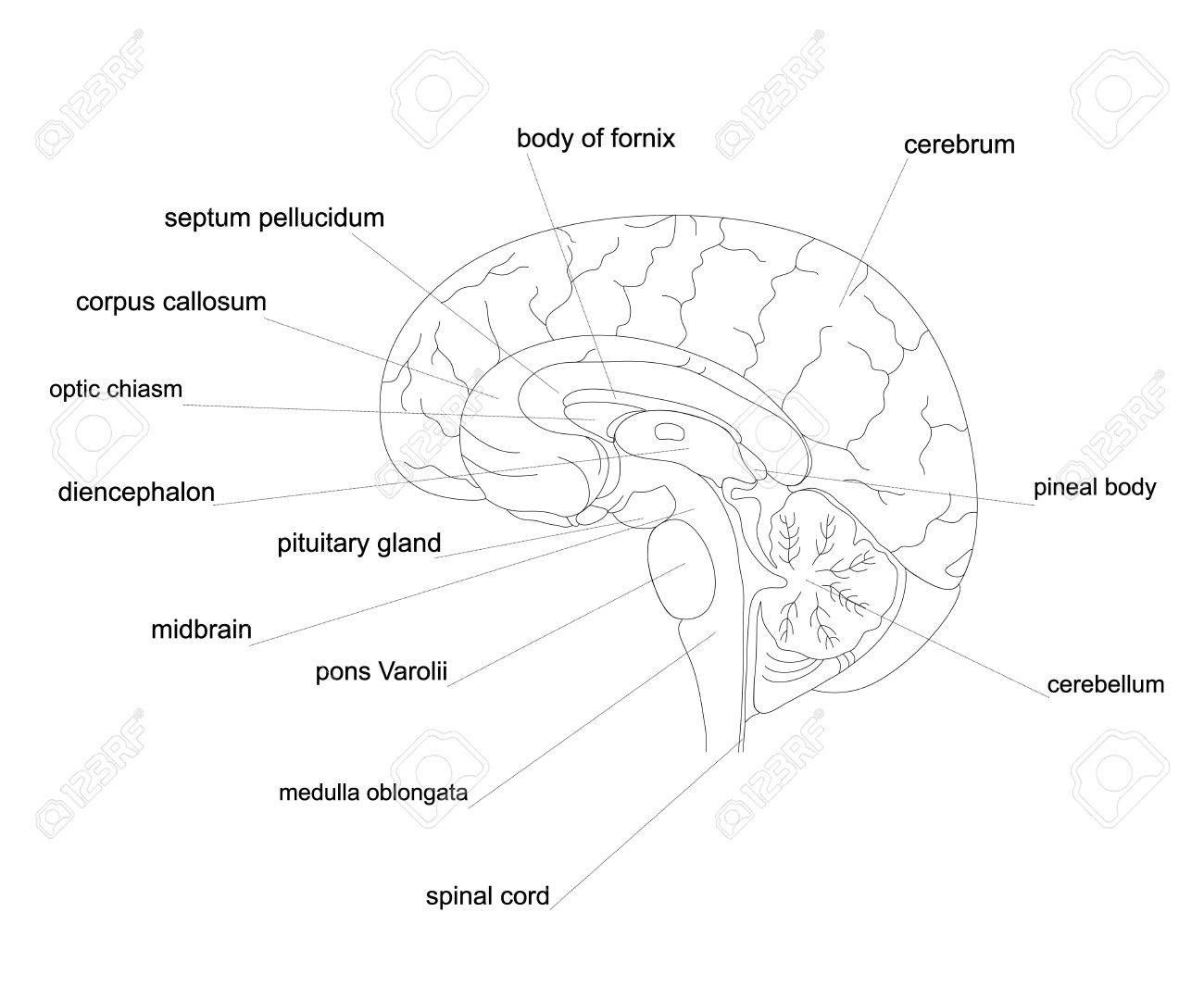hight resolution of outline human brain anatomy central nervous system line diagram stock vector 74006264