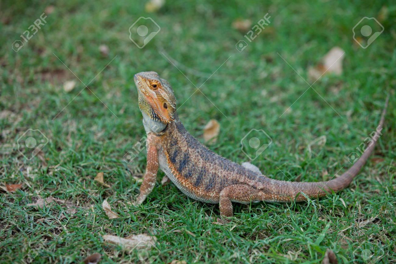 bearded dragon lizard in
