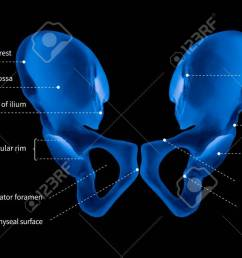 illustration infographic diagram of human hip bone or pelvic girdle anatomy system anterior view 3d medical illustration human anatomy medical  [ 1300 x 653 Pixel ]