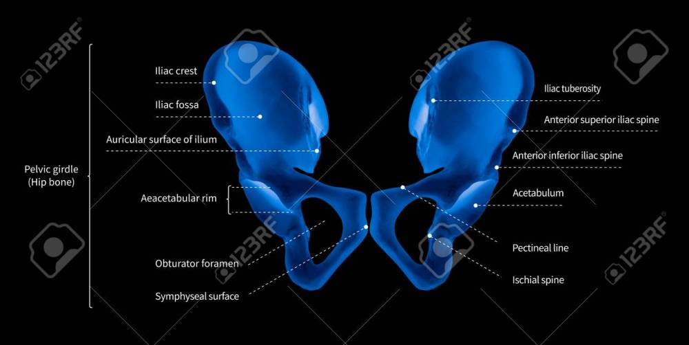 medium resolution of illustration infographic diagram of human hip bone or pelvic girdle anatomy system anterior view 3d medical illustration human anatomy medical