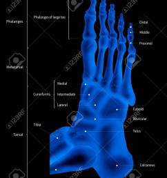 illustration infographic diagram of human foot bone anatomy system lateral view 3d medical illustration human anatomy medical diagram educational  [ 1058 x 1300 Pixel ]