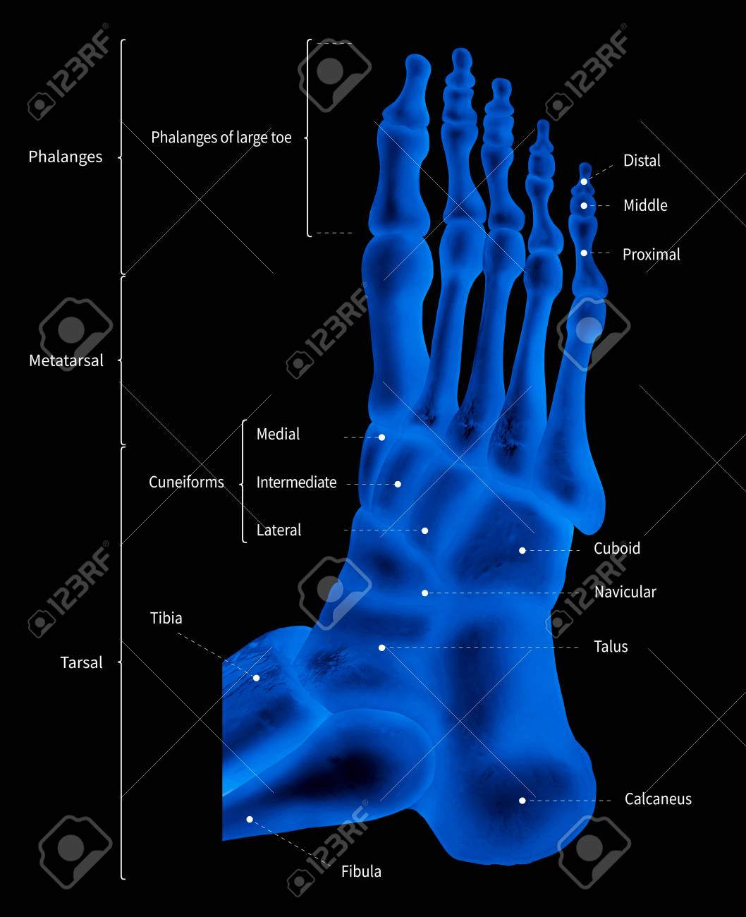 hight resolution of illustration infographic diagram of human foot bone anatomy system lateral view 3d medical illustration human anatomy medical diagram educational