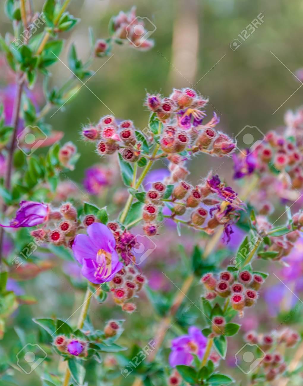 osbeckia stellata ham flowers