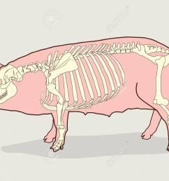 pig skeleton vector illustration pig skeleton diagram pig skeleton for sale pig [ 1300 x 982 Pixel ]