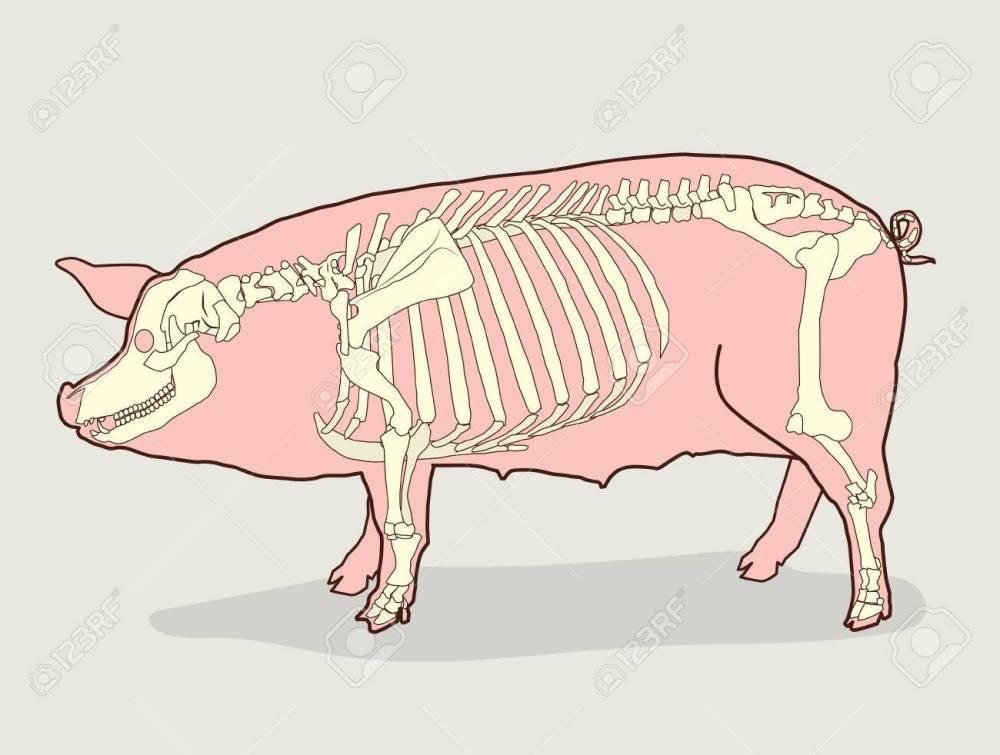 medium resolution of pig skeleton vector illustration pig skeleton diagram pig skeleton for sale pig