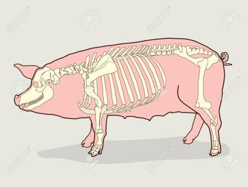 small resolution of pig skeleton vector illustration pig skeleton diagram pig skeleton for sale pig